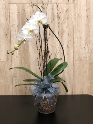 Phalaeonopsis_plant